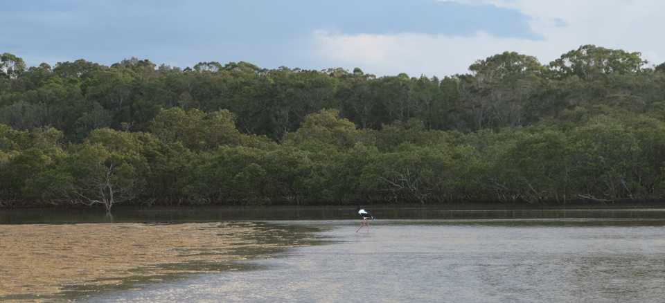 Jabiru, Urunga Lagoon