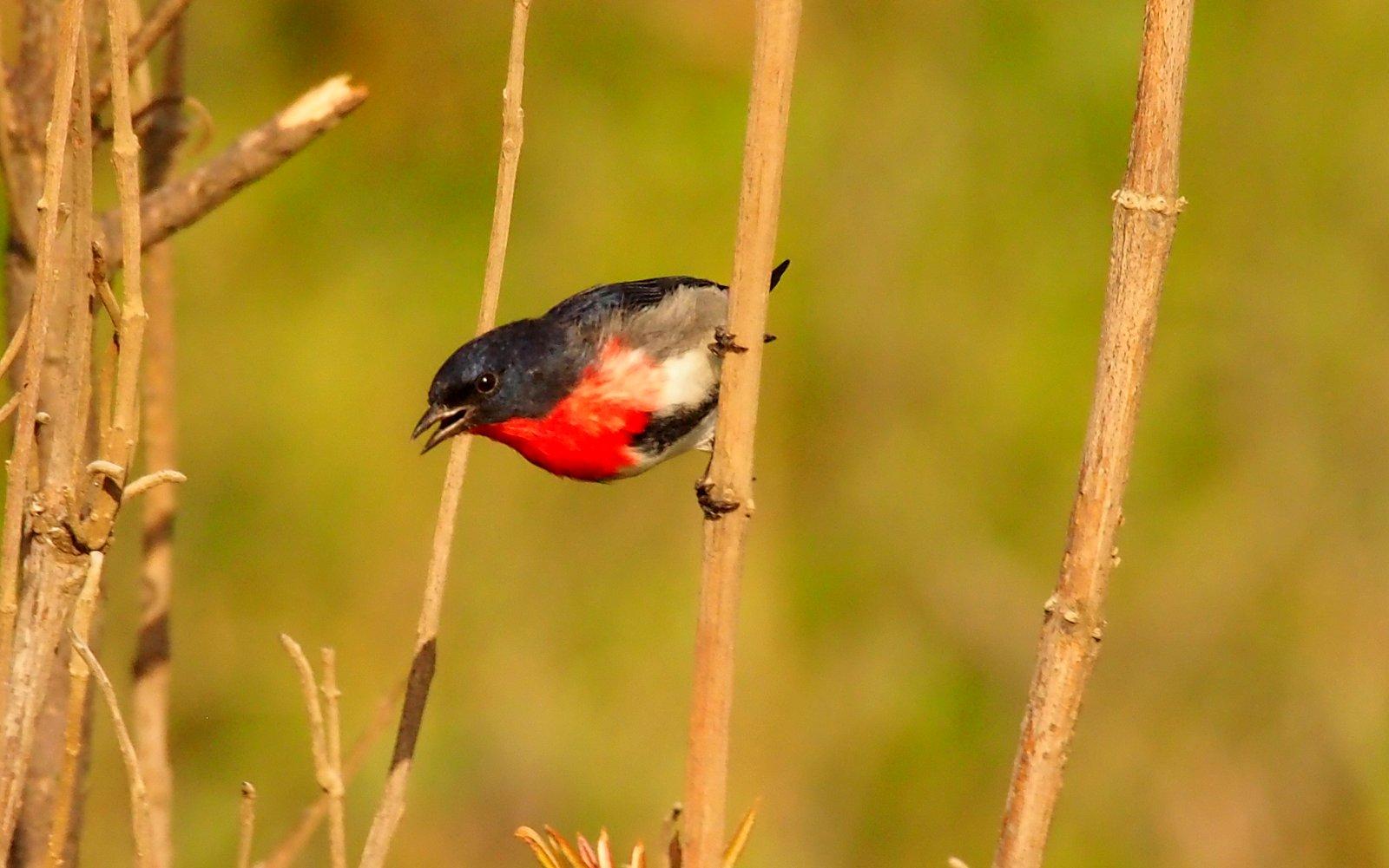 Mistletoe Bird Lew Witten