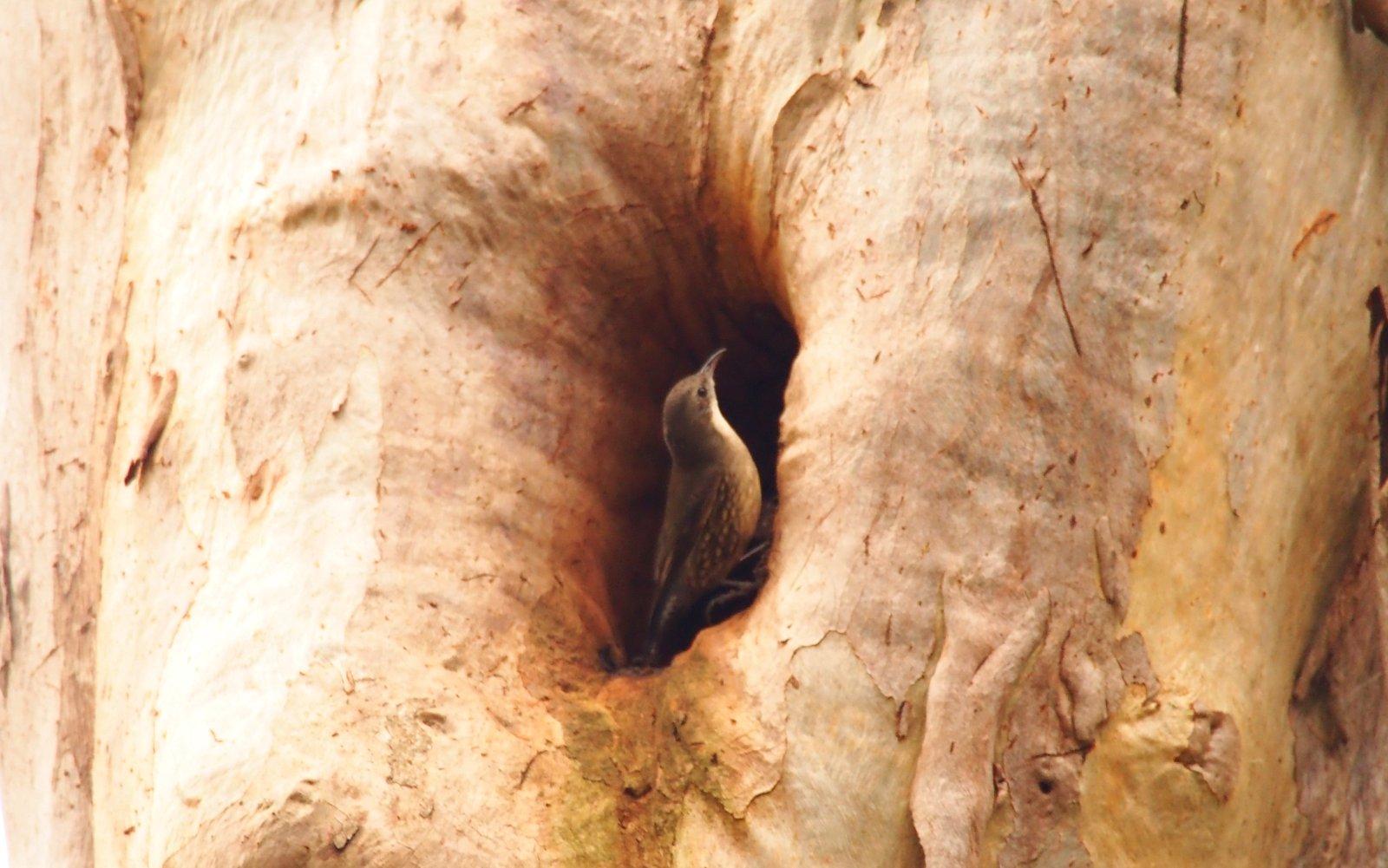 Tree Creeper,  Lew Witten