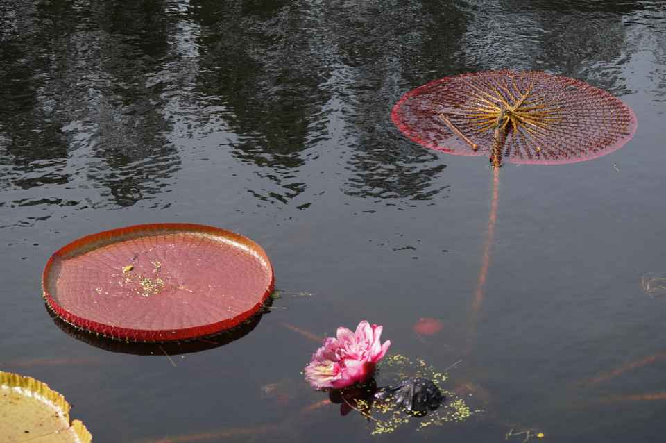 Giant water lilly pads