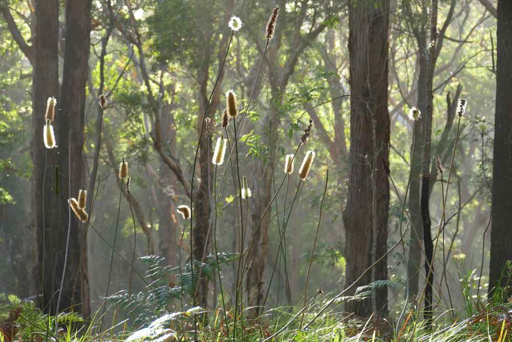 Northern Grass Trees