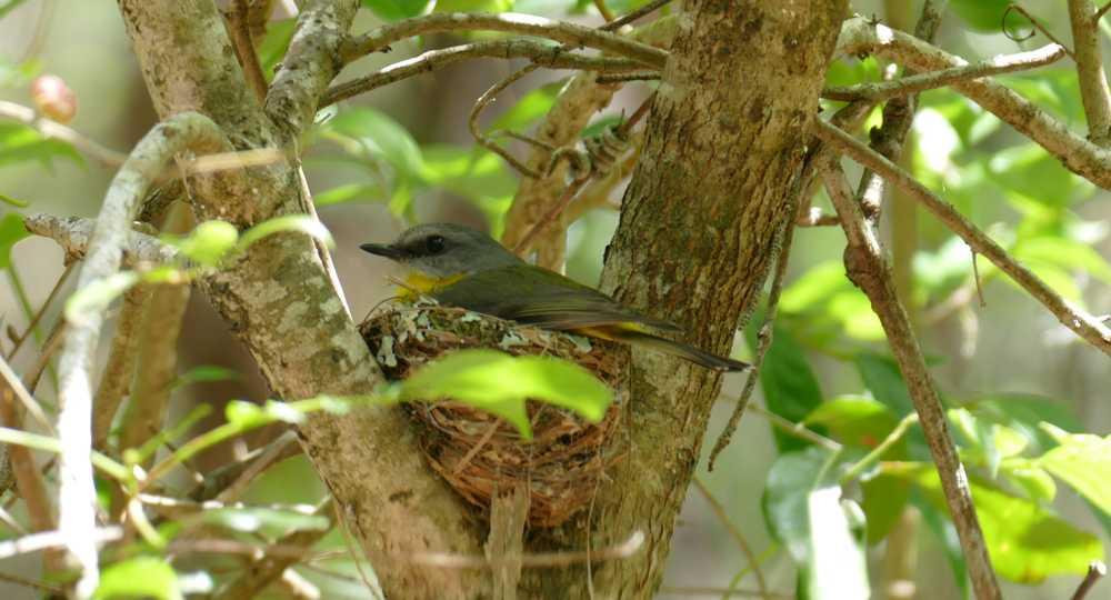 Eastern Yellow Robin on nest_Valla
