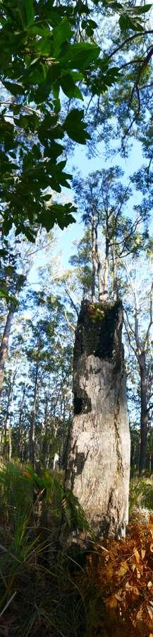Stump with Elkhorn, pn_v