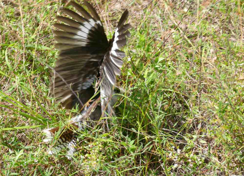 kooka hunting common scaly foot legless lizard1