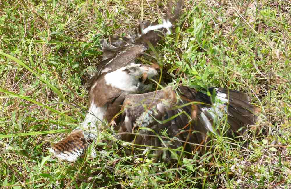 kooka hunting common scaly foot legless lizard3
