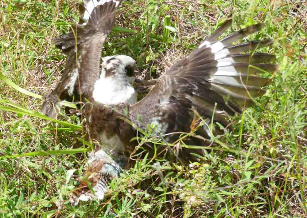 kooka hunting common scaly foot legless lizard5