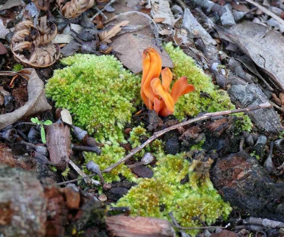 03 28_Jagun Clavulinopsis laeticolor, a coral mushroom