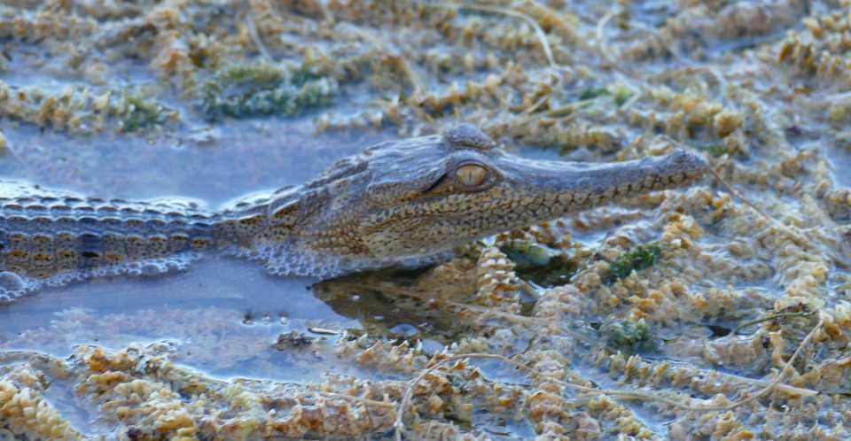 Lake Argyll croc