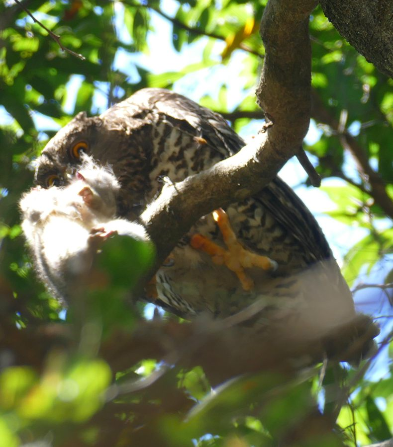 Powerful Owl eating white phase young Greater Glider