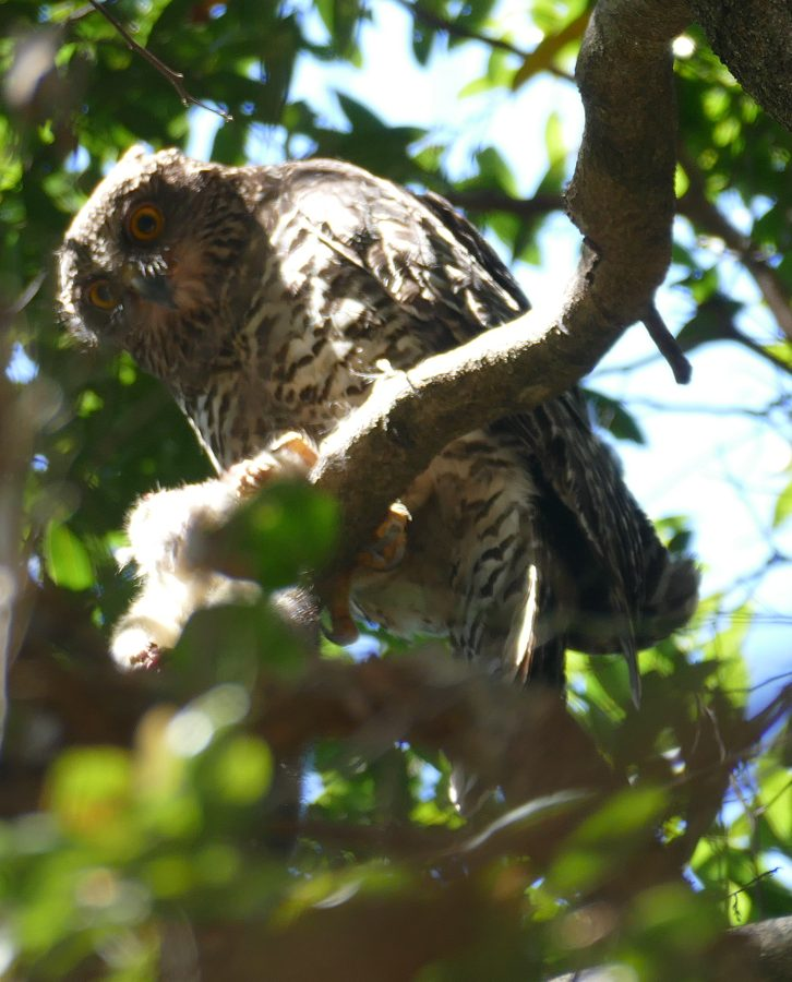 Powerful Owl eating white phase young Greater Glider3