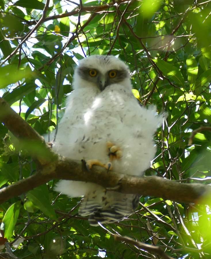 baby Powerful Owl2