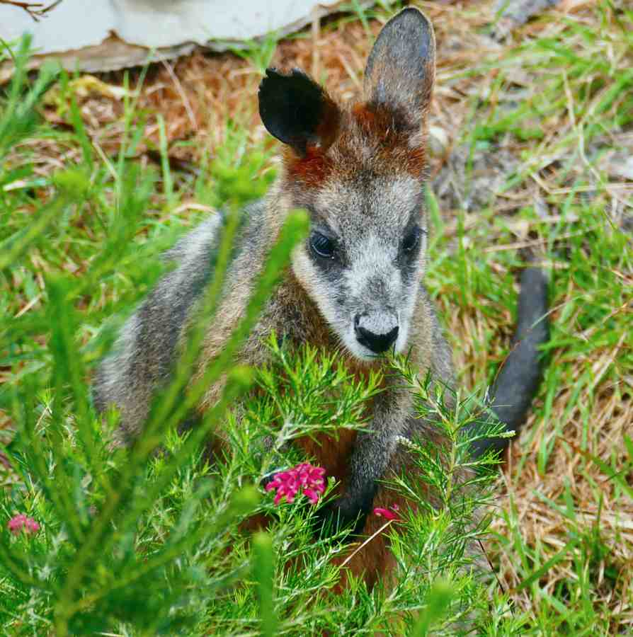 wallaby_1