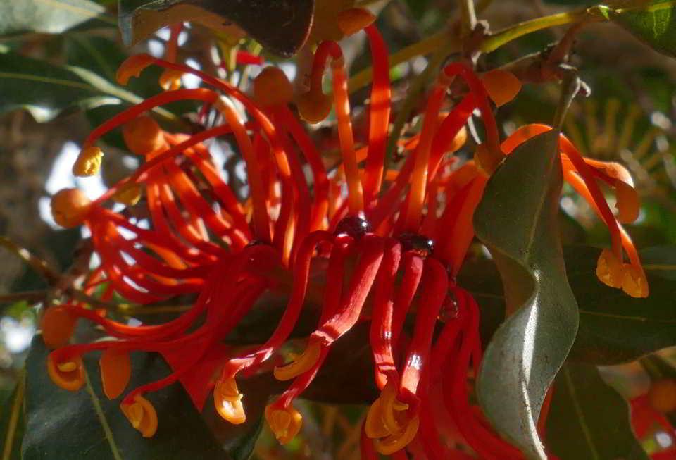 02 20_Tree Warratah nectar
