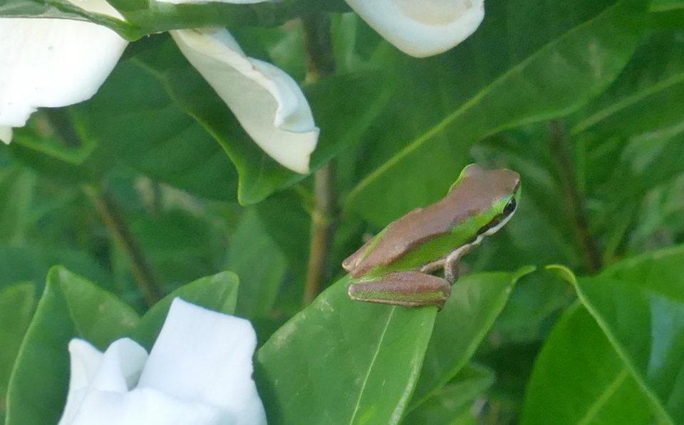 02 21_Eos_Eastern dwarf tree frog