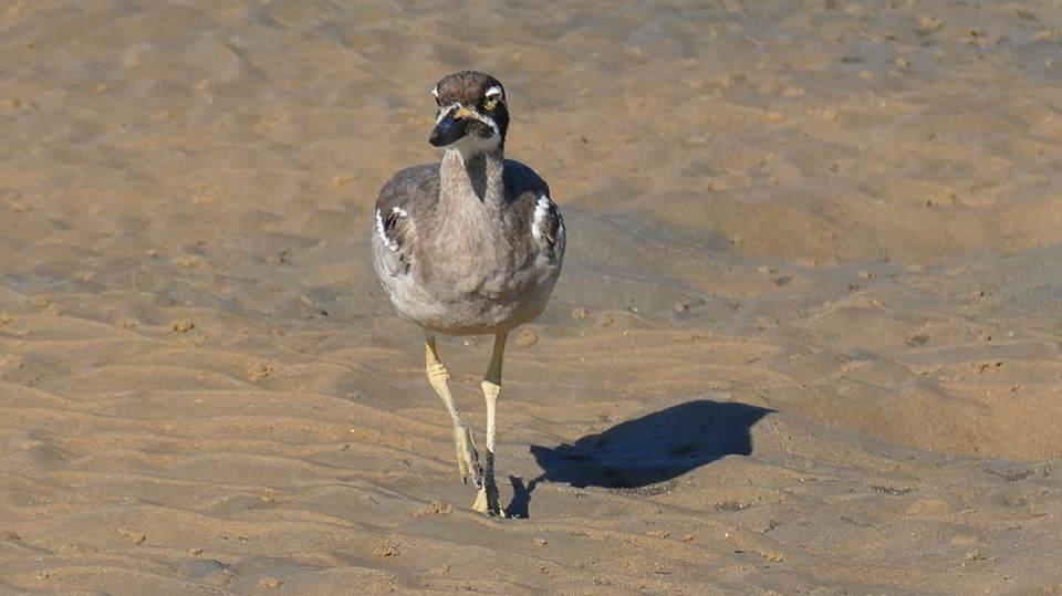 Endangered Beach Thicknee, Urunga