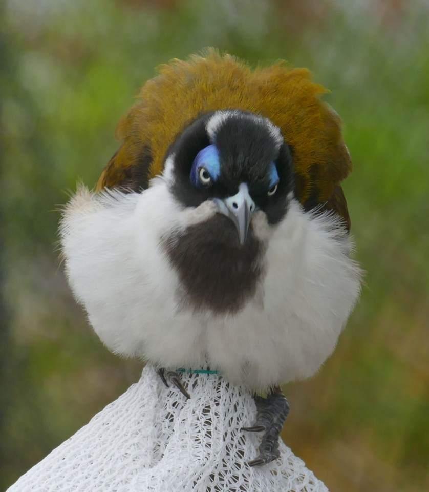 Grumpy-Blue-faced-Honeyeater-trapped-in-vegie-garden_w