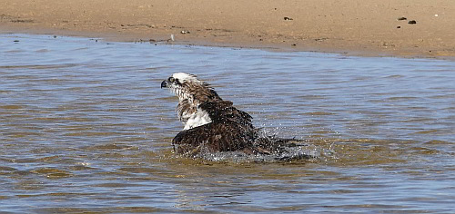 Osprey bathing_