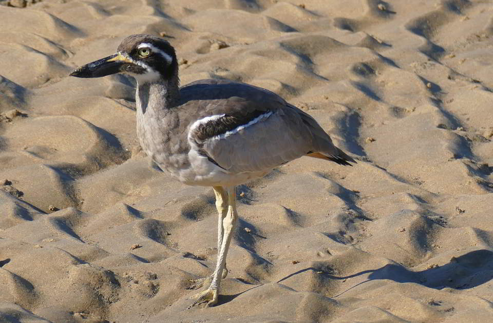 endangered Beach Thick-knee