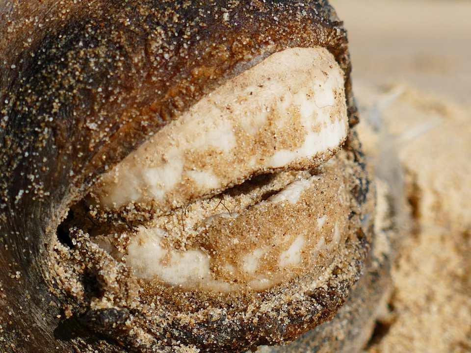 Pufferfish teeth