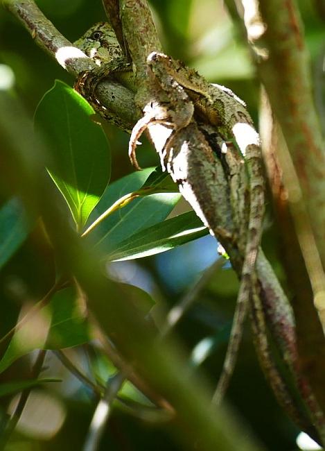 Southern Forest Dragon (Hypsilurus spinipes), Bongil Bongil_Easter Sunday_1_8