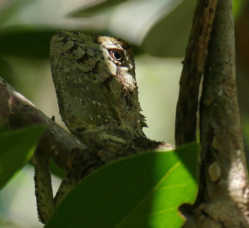 Southern Forest Dragon (Hypsilurus spinipes), Bongil Bongil_Easter Sunday_8