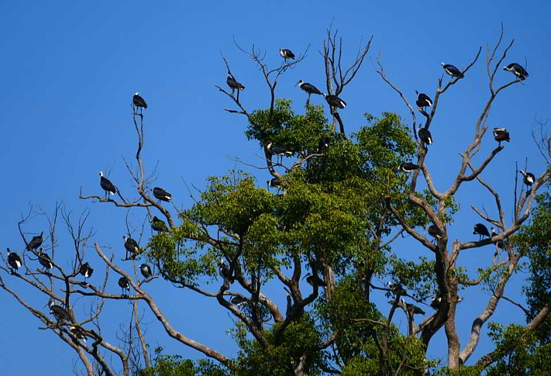 Straw_necked Ibis, North Bank Rd_8