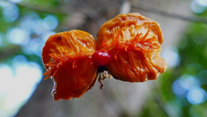 The last Seed, Pittosporum angustifolium