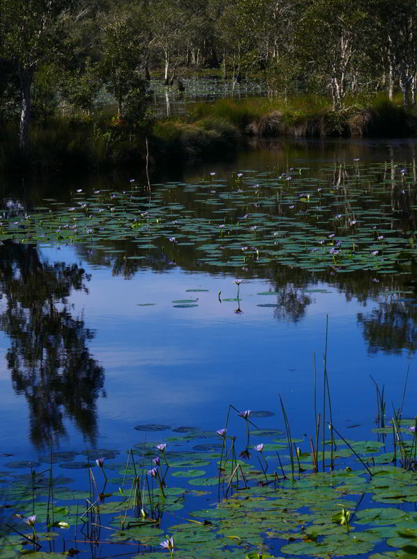 Wetlands Urunga,waterlilies2