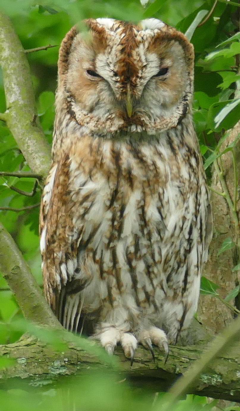 Tawny Owl_June2_Shenley Wood_dt