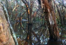 Photo of After the rains, the Paperbark Swamp is alive