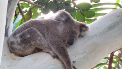 Photo of New Nambucca Koala Conservation video