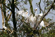 Photo of Eastern Great Egret chicks being fed