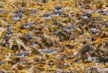 Photo of Ruddy Turnstones