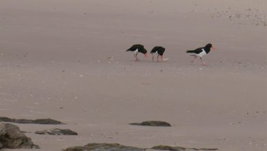 Photo of Oystercatcher Courtship and fecundity, Sept 28